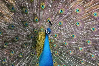 动物、鸟、孔雀