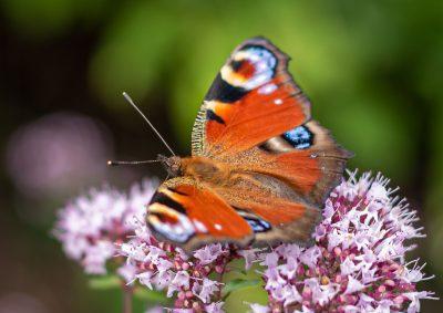 蝴蝶、孔雀蝴蝶、昆虫