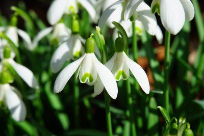 石蒜科植物雪花莲的图片