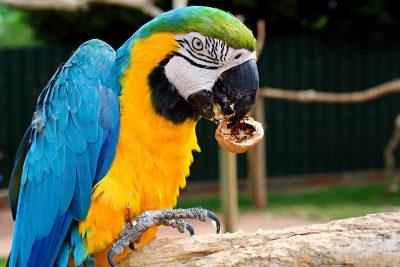 蓝色和黄色的金刚鹦鹉、鸟、鹦鹉