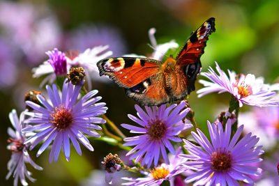 性质、蝴蝶、孔雀蝴蝶