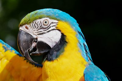 Ara、鹦鹉、黄色的金刚鹦鹉