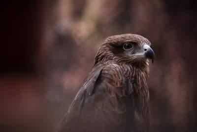 鹰的图片 6000×4000