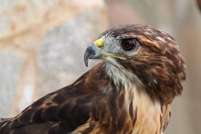 鹰的图片 2500×1667