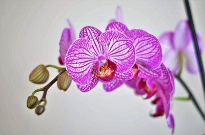一枝蝴蝶兰的图片