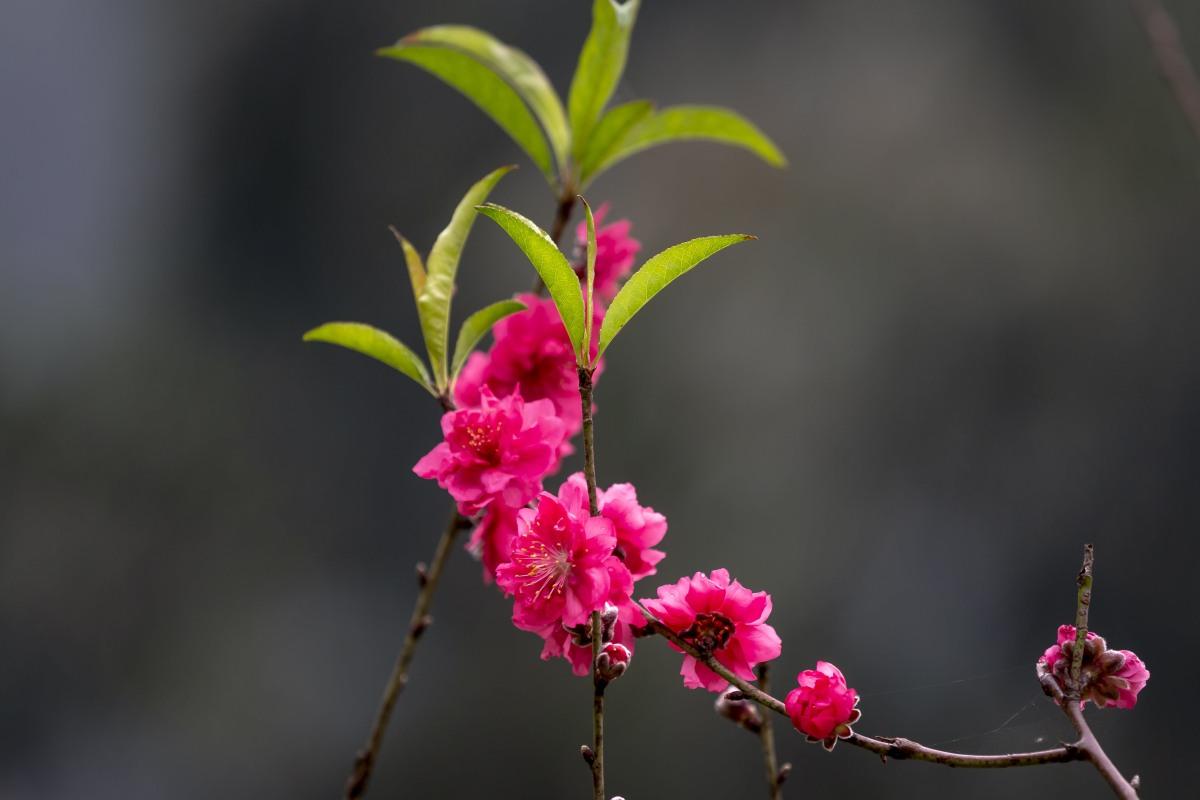碧桃花的图片