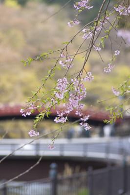 日本樱花 4000×6016