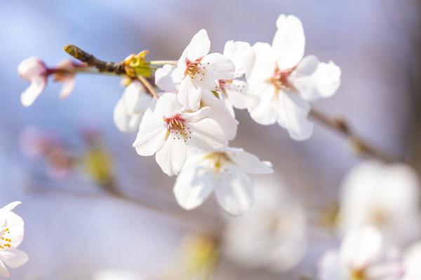 日本樱花 8688×5792