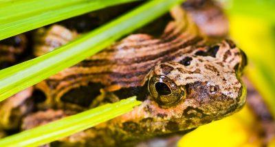 两栖类动物青蛙的图片