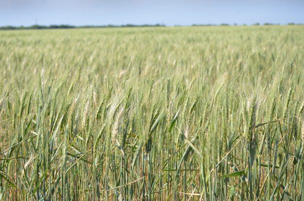 麦田的小麦麦穗