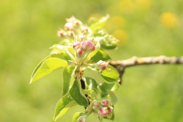 春天的苹果花图片