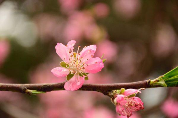春天粉红色的桃花花朵特写