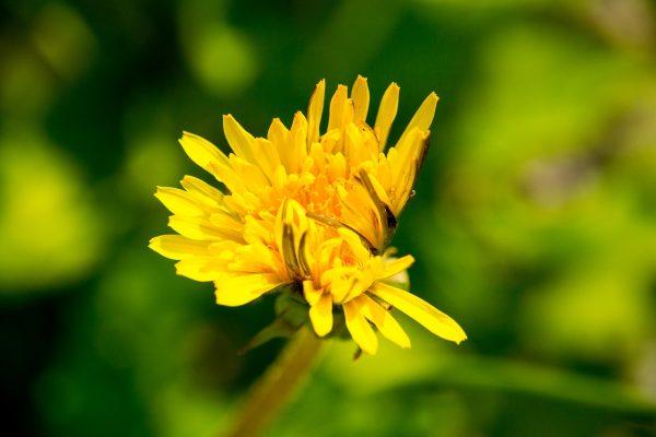 蒲公英、开花、黄色