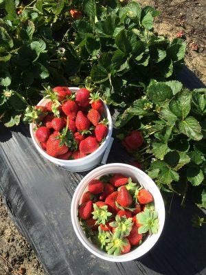 草莓采摘图片