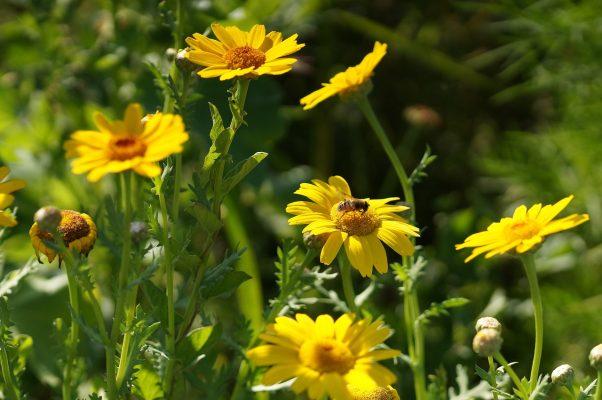 茼蒿的黄色花朵