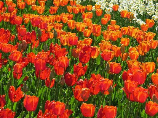 郁金香字段、红色、橙