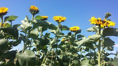 向日葵、向日葵的字段、天空