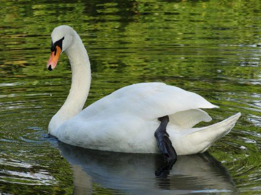 水中的白天鹅图片