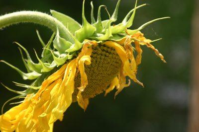 向日葵花图片