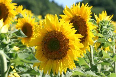 向日葵、黄色、花卉