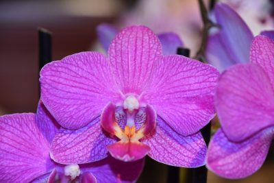 紫色的蝴蝶兰花