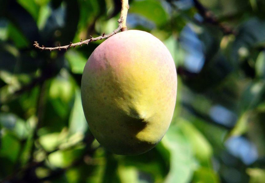 芒果、芒果树、成熟