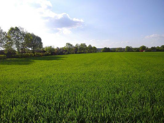 春天麦田的绿色麦苗