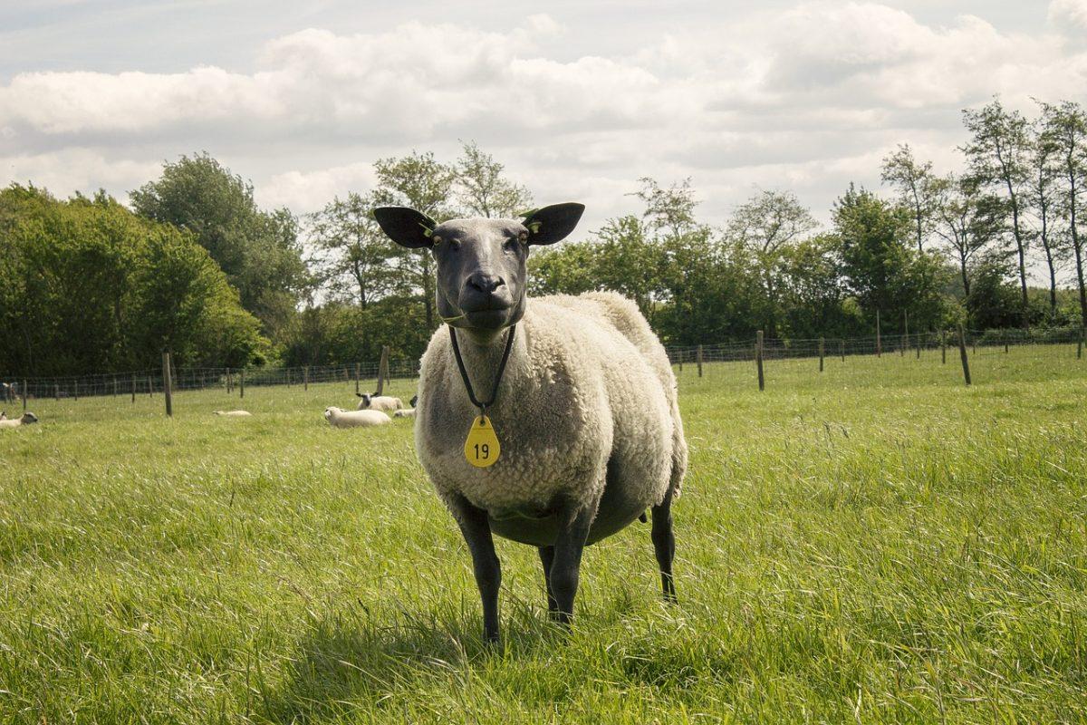 牧场草地上的绵羊