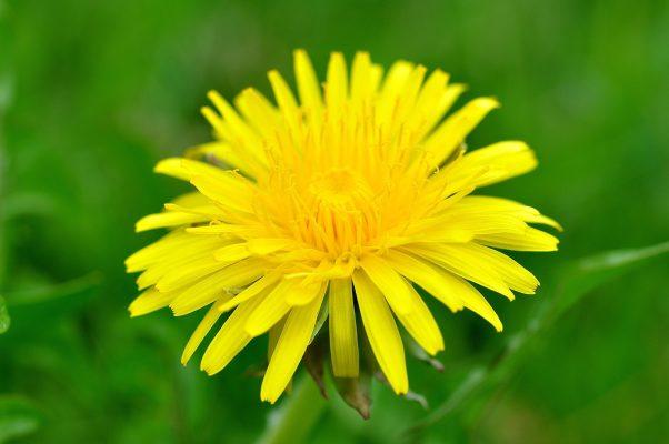 蒲公英、花、指出花