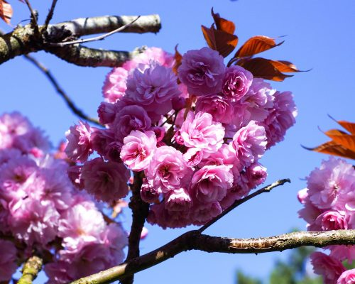 春天的樱花花朵