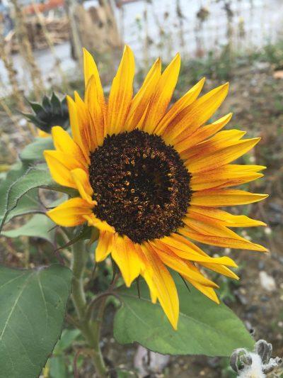向日葵、花、黄色