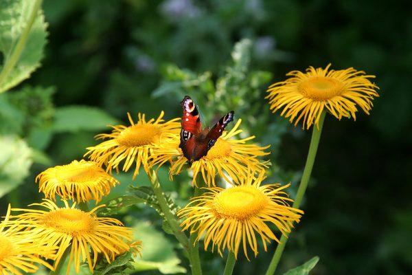 蝴蝶、蒲公英、黄色