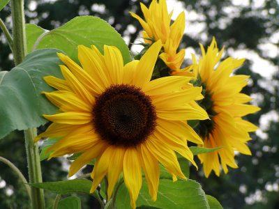 向日葵、性质、鲜花