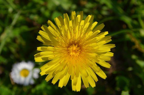 蒲公英、开花、指出花