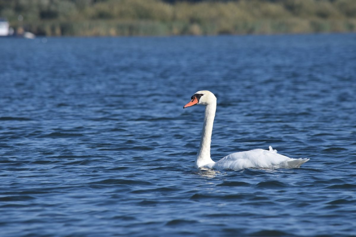 水中游泳的白天鹅