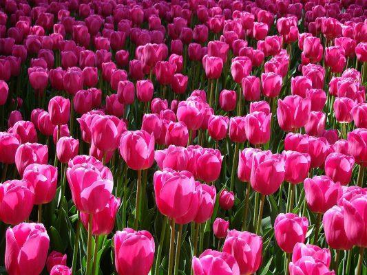 郁金香、原野、粉红色