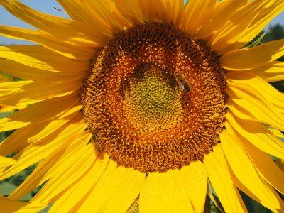 向日葵、蜜蜂、开花