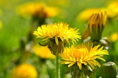 盛开的蒲公英花朵图片