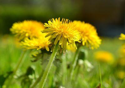 黄色的蒲公英花