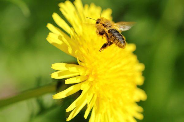 蜜蜂、飞行、蒲公英