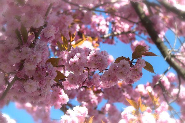 春暖花开 春天的粉色樱花花朵