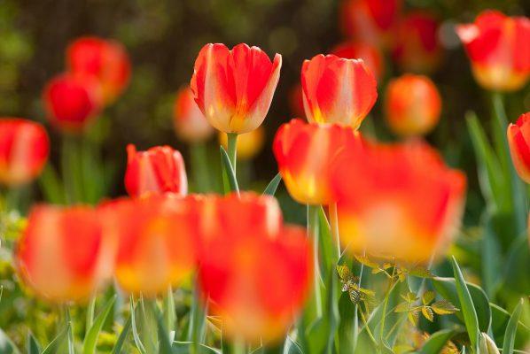 郁金香、野花、花