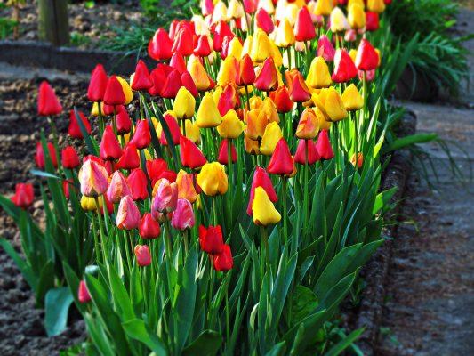 鲜花、郁金香、花园