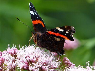 花朵上的赤蛱蝶