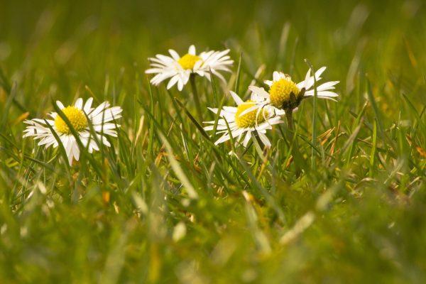 草地上的雏菊小花朵
