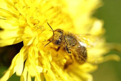 蜜蜂传授花粉特写