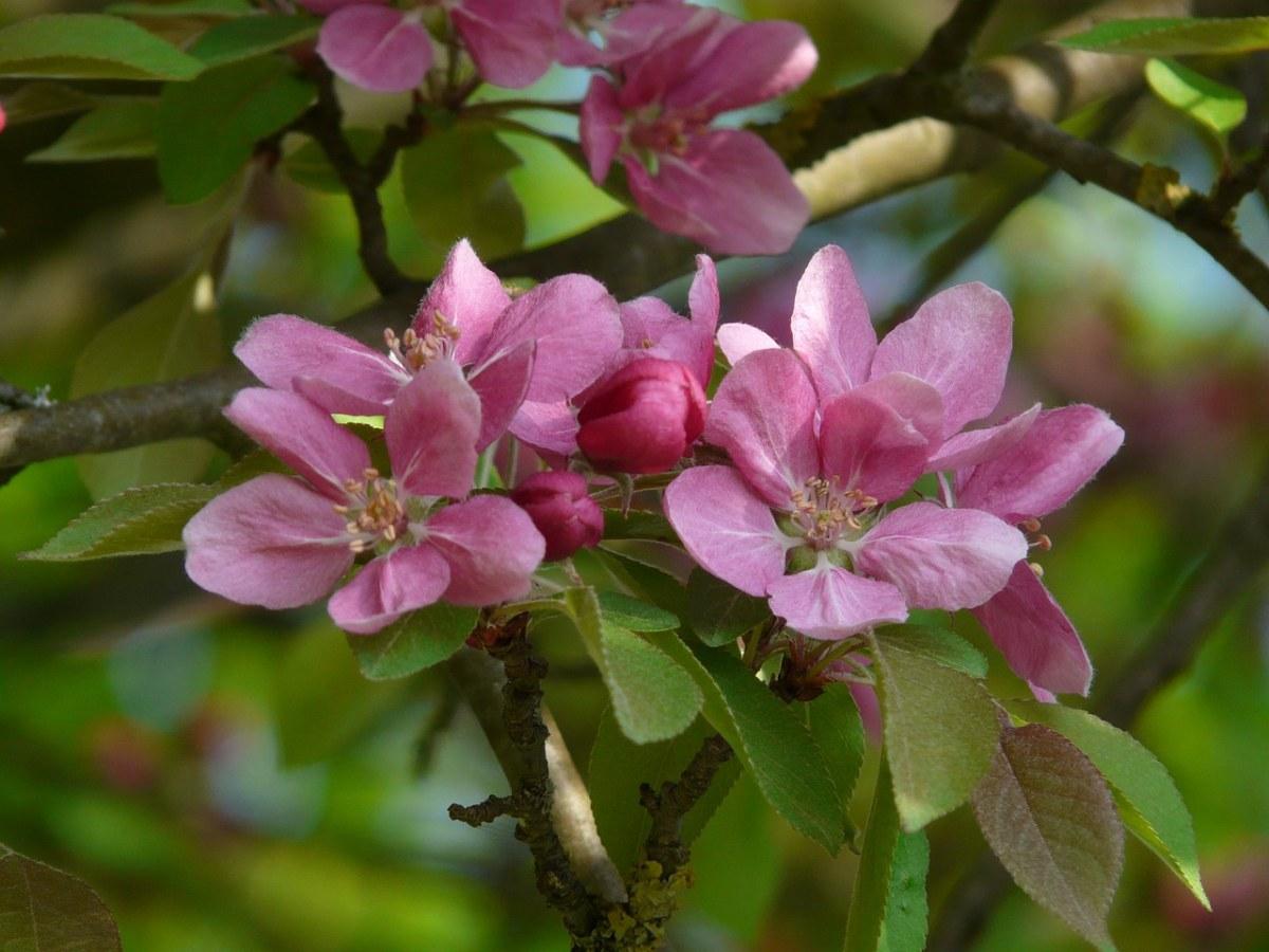 粉红色的海棠花