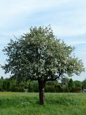 春天草地上开花的苹果树
