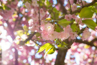 春暖花开时的观赏樱花