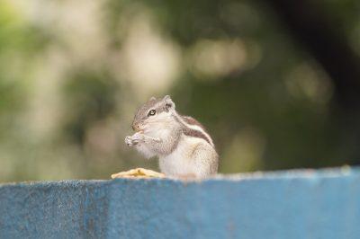 一只花栗鼠